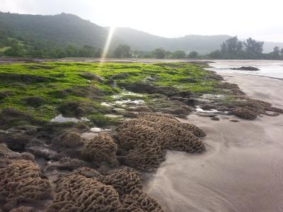 शैवाल जन्य वनस्पती